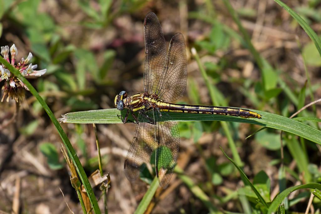 Lancet Clubtail, female