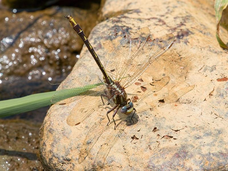 Lancet Clubtail (Phanogomphus exilis), Male