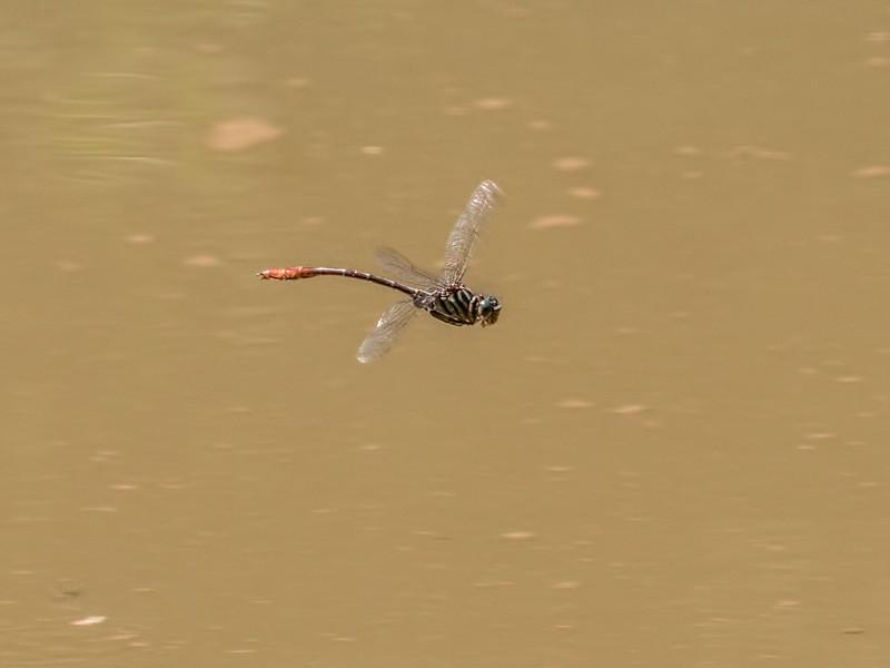 Male, Little Elk Creek, Elkton, Cecil County, MD
