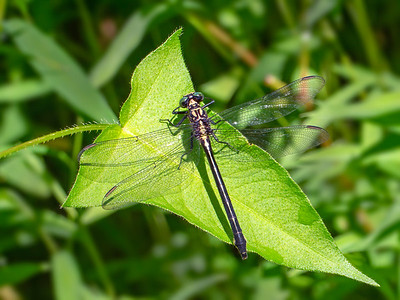 Sable Clubtail (Stenogomphurus rogersi), female