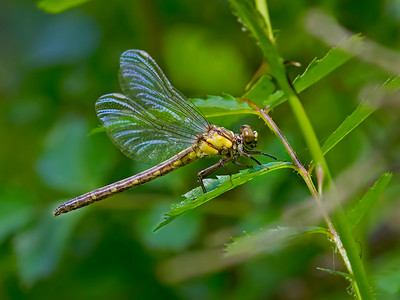 Teneral Female, Second Delaware Record, Ramsey Run, Brandywine Creek SP