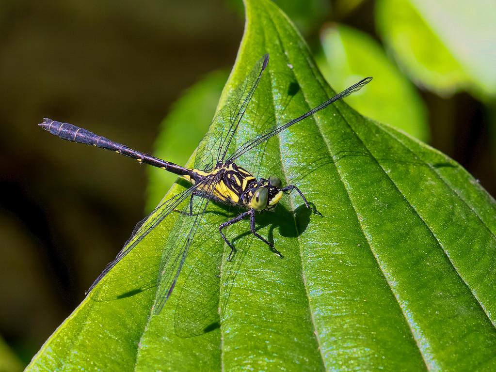 Southern Pygmy Clubtail, male