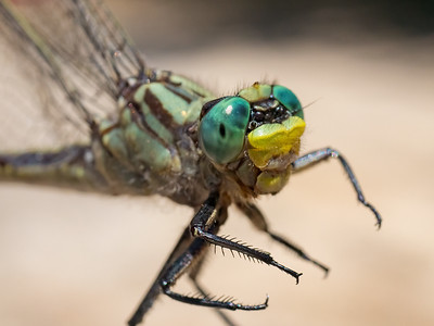 Unicorn Clubtail (Arigomphus villosipes), female