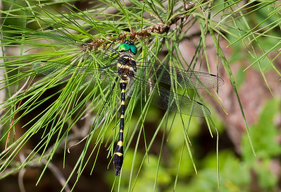 Male, Idylwild WMA, MD (POSED)