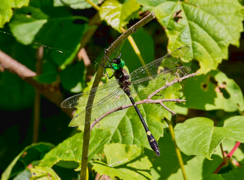 Swift River Cruiser, male