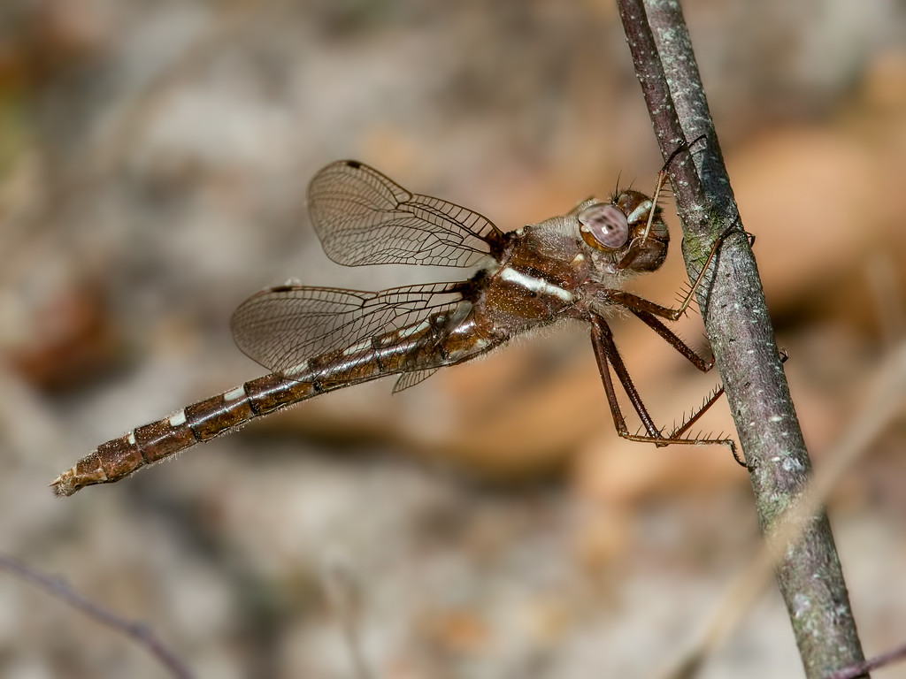 Stream Cruiser, female