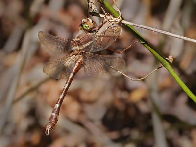 Stream Cruiser (Didymops transversa), male