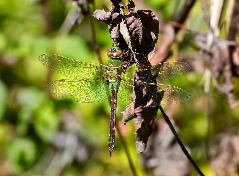Common Green Darner, female, Lum's Pond SP