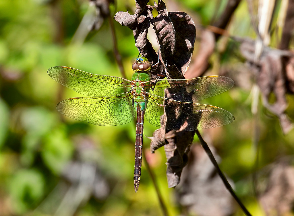 Gray Petaltail, female