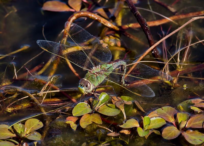 Common Green Darner, female ovipositing, Lum's Pond SP
