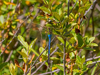 Common Green Darner, male, Beaver Dam Meadow, Huntingdon Co, PA