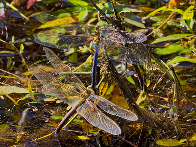 Common Green Darner, tandem pair ovipositing, Lum's Pond SP