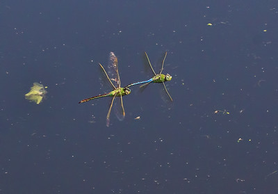 Common Green Darner, tandem pair in flight, Taylor's Bridge