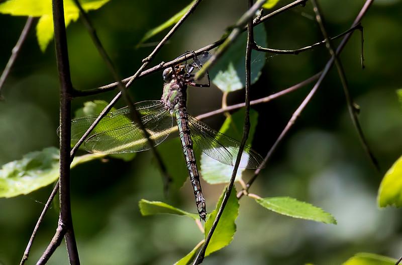 Female, consuming Orange Bluet, Idylwild, MD