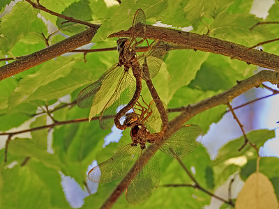 Fawn Darner, pair in wheel, Greensboro Christian Park, MD