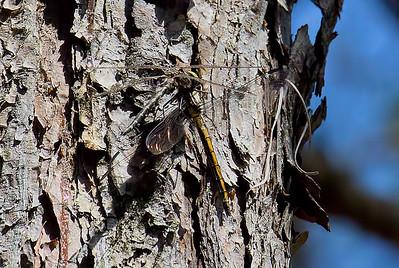 Male, consuming Slaty Skimmer, Idylwild WMA, MD