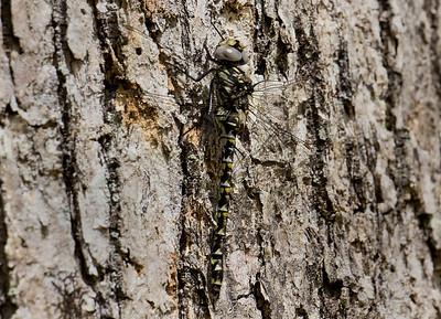 Female, Blackbird State Forest