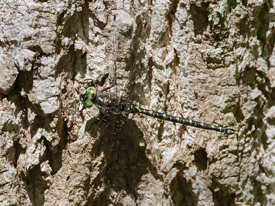 Harlequin Darner (Gomphaeschna furcillata), male
