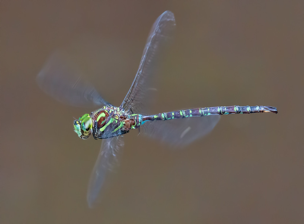 Shadow Darner, male