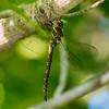 Heteromorphic Female, Saratogo County, NY