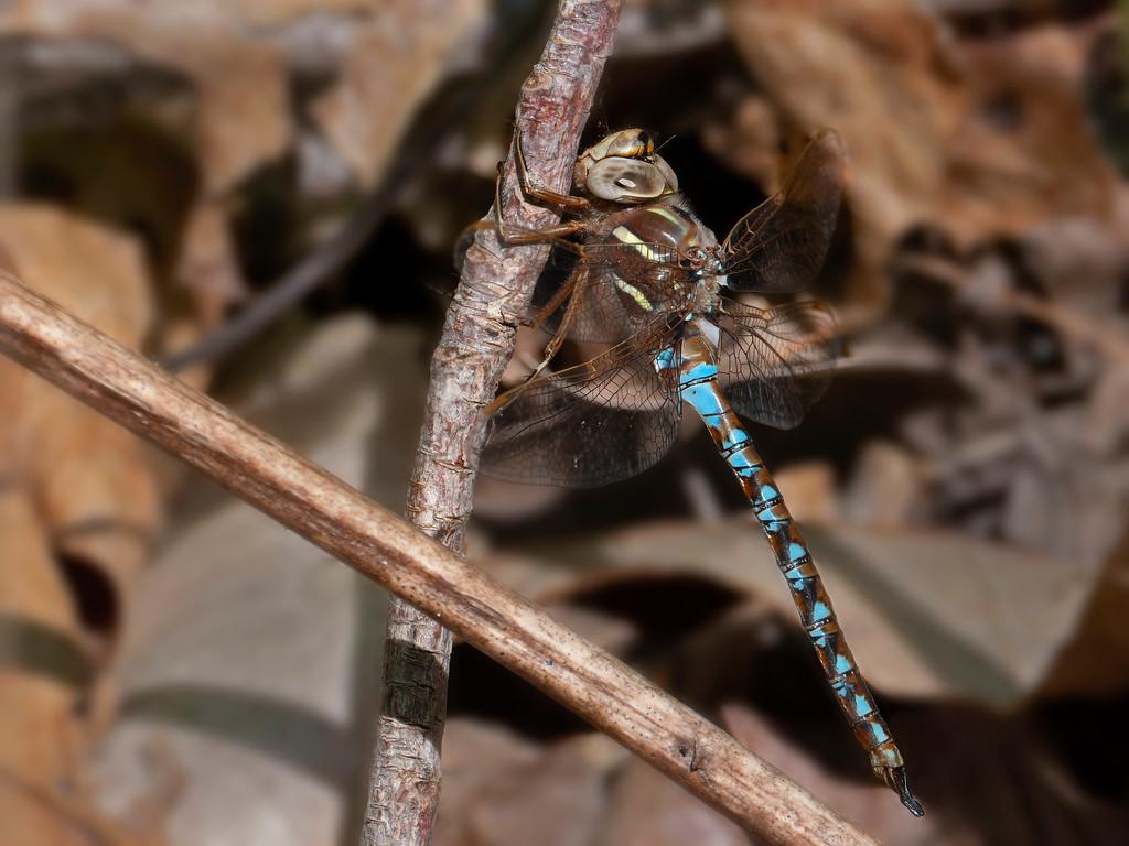 Springtime Darner, male
