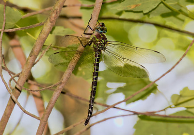Female, Idylwild WMA, MD