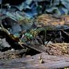 Female ovipositing, Blackbird State Forest
