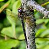 Female, Idylwild WMA, MD