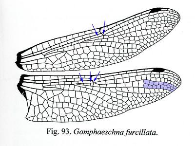 WIng Diagram, Halequin Darner