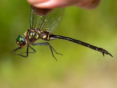 Clamp-tipped Emerald (Somatochlora tenebrosa), Female