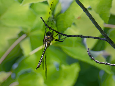 Clamptipped Emerald (Somatochlora tenebrosa), female