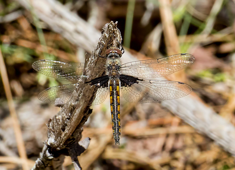 Female (Dark-winged Form), Idylwild WMA, MD