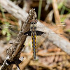 Female (Dark-winged Form), Idylwild WMA, MD