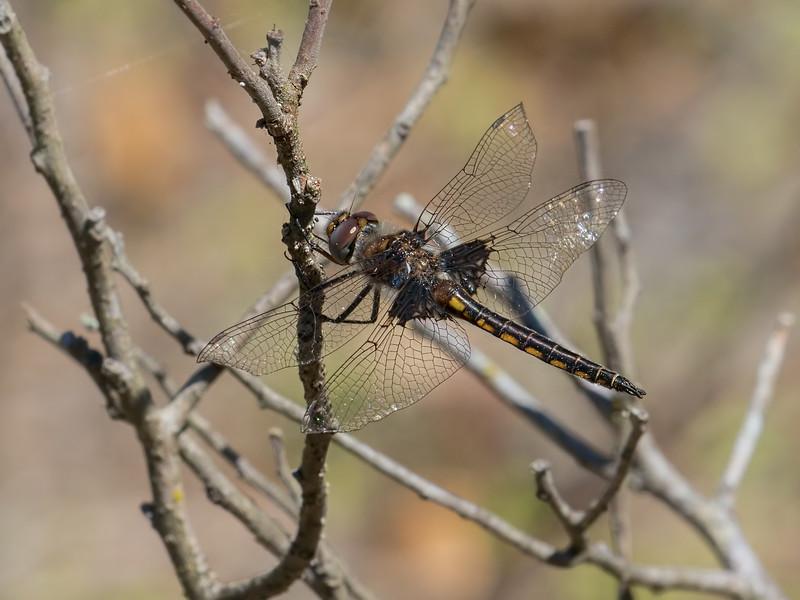 Male, Dark-winged form, Idylwild, MD
