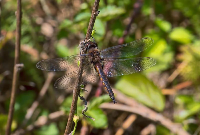Male, Idylwild WMA, MD