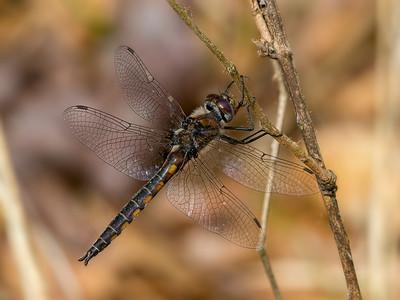 Male, Idylwild, WMA