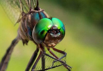 Fine-lined Emerald, male, head shot