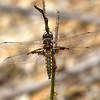 Male, Wharton State Forest, NJ