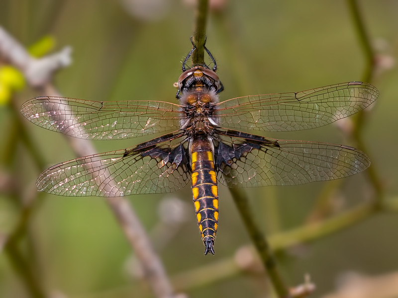 Male, Wharton State Forest, NJ