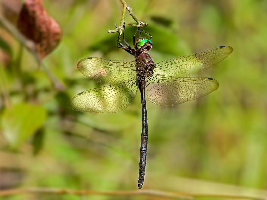 Mocha Emerald, male