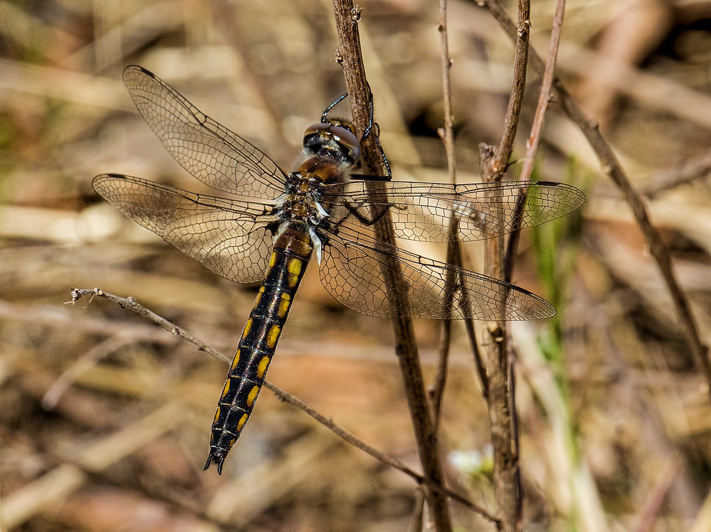 Robust Baskettail, female