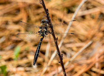 Male, Idylwild WMA, MD