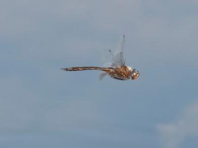 Slender Baskettail (Epitheca costalis), male