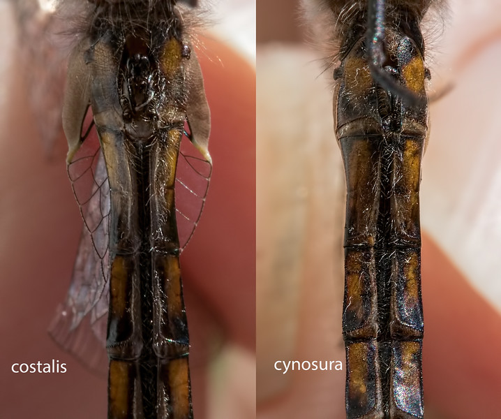 Comparison of Male Slender and Common Baskettails, Lum's Pond SP