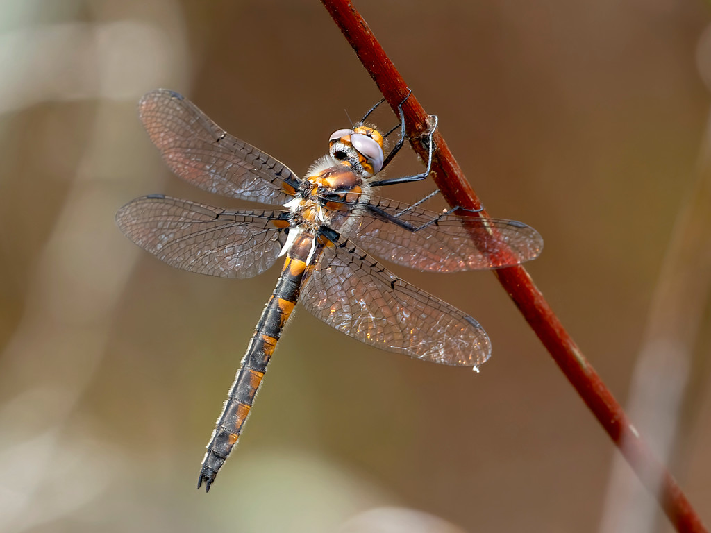 Uhler's Sundragon, female