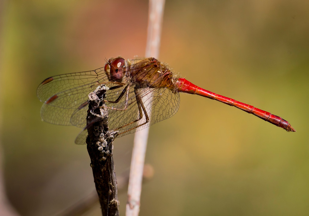 Autumn Meadowhawk male