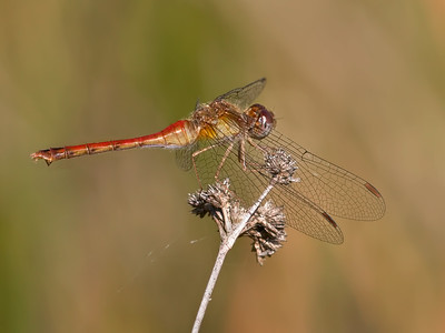 Autumn Meadowhawk (Sympetrum vicinum), Andromorph Female