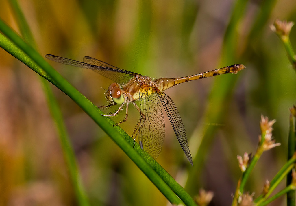 Autumn Meadowhawk female