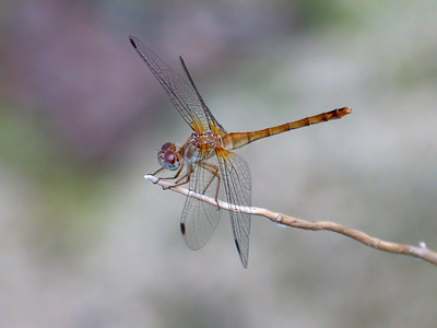 Autumn Meadowhawk (Sympetrum vicinum), male
