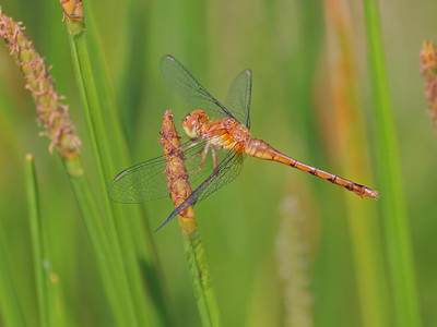 Autumn Meadowhawk (Sympetrum vicinum), young female